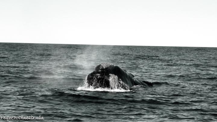 Baleia Francoaustral